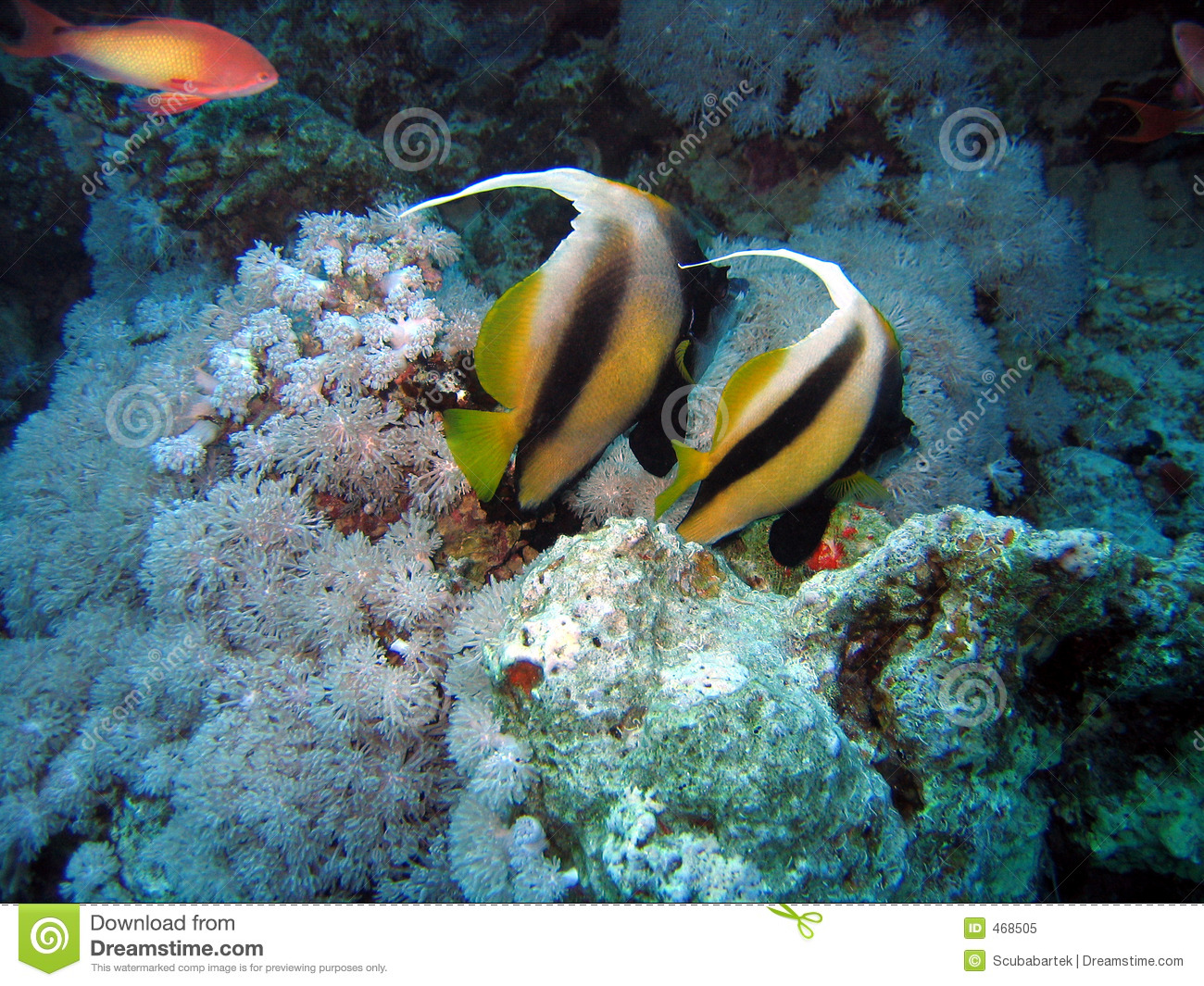 Two pennant fish
