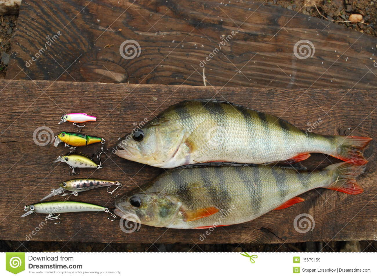Two perch caught on wobbler and fishing lures royalty free for Perch fishing lures