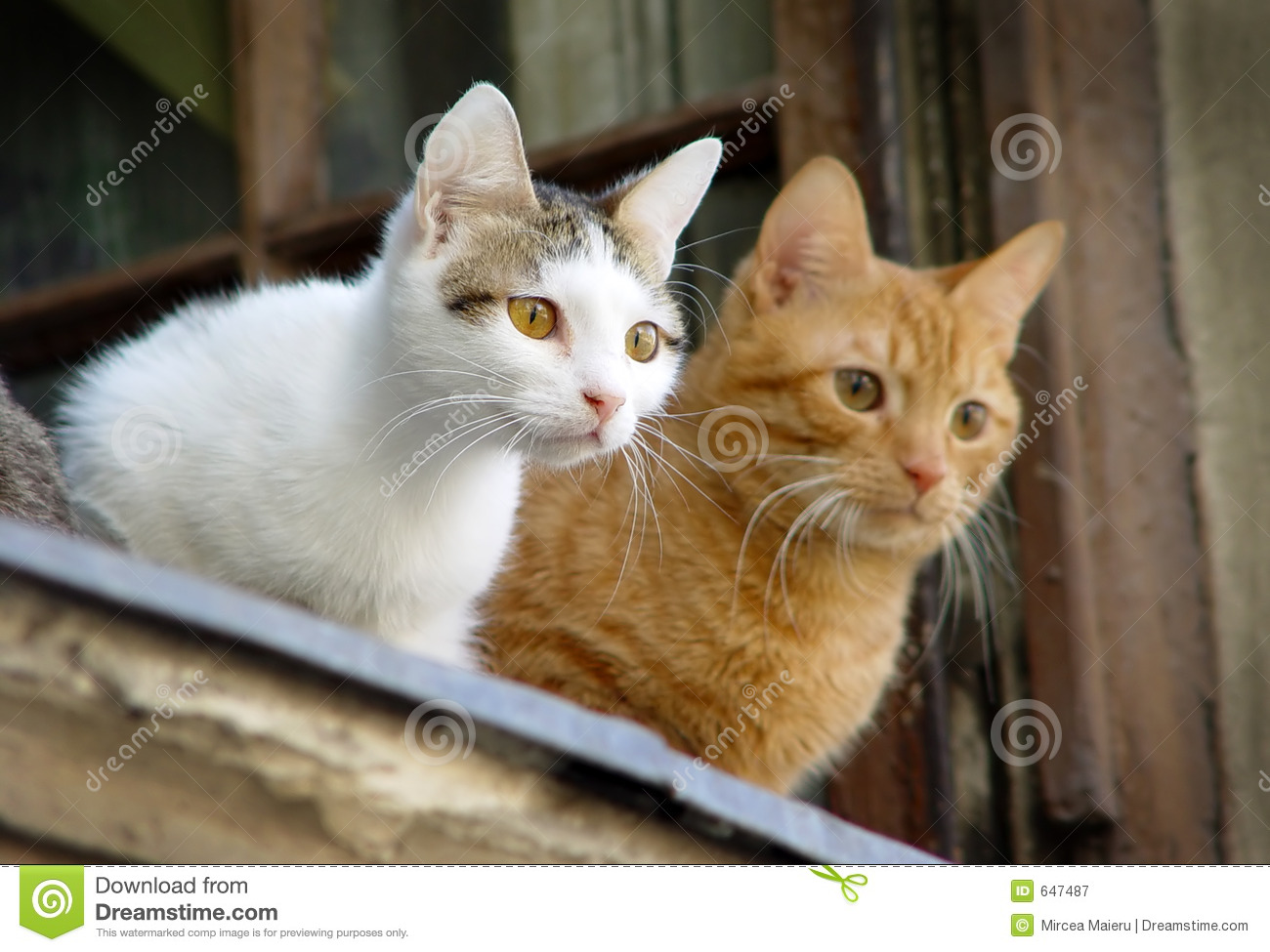 Two Pet Cats Royalty Free Stock Photography Image 647487