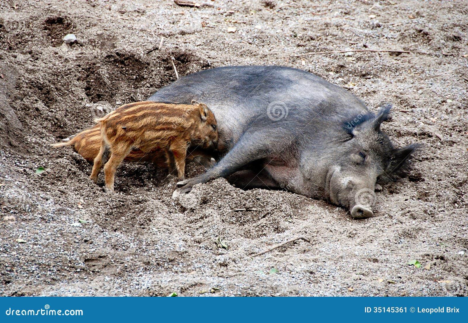 feral pig attack