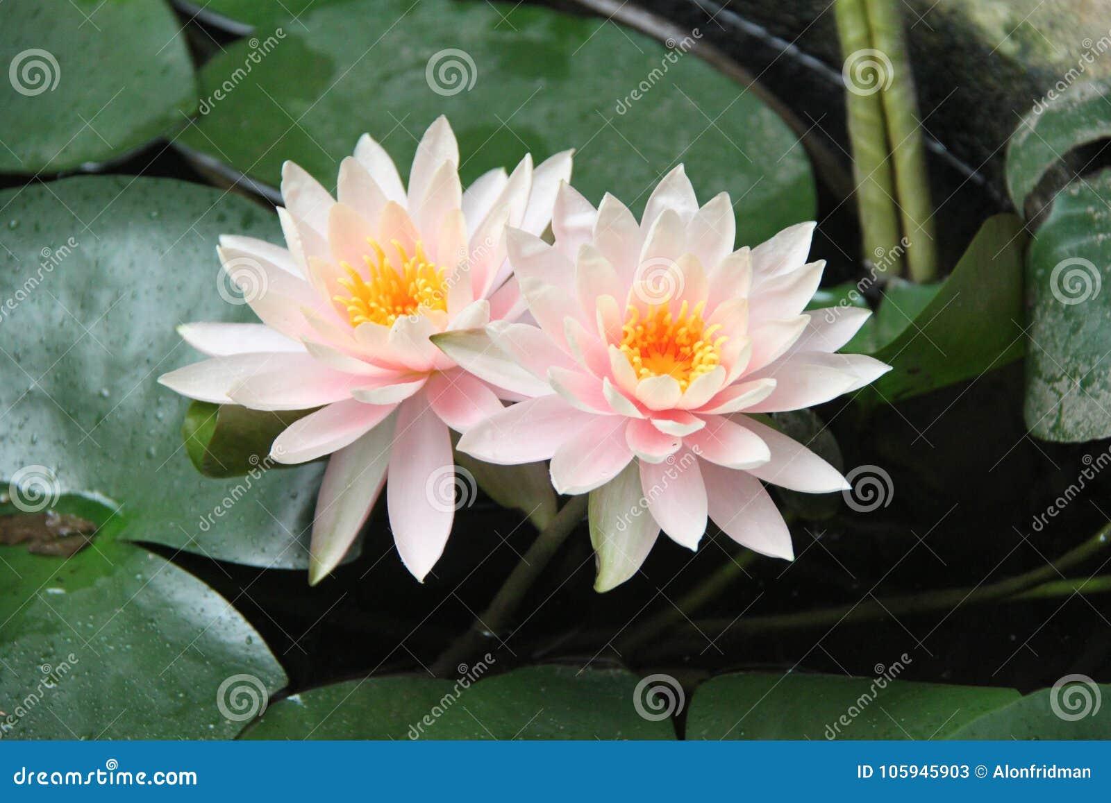 Pink Lotus Flowers Stock Image Image Of Swamp Gardening 105945903