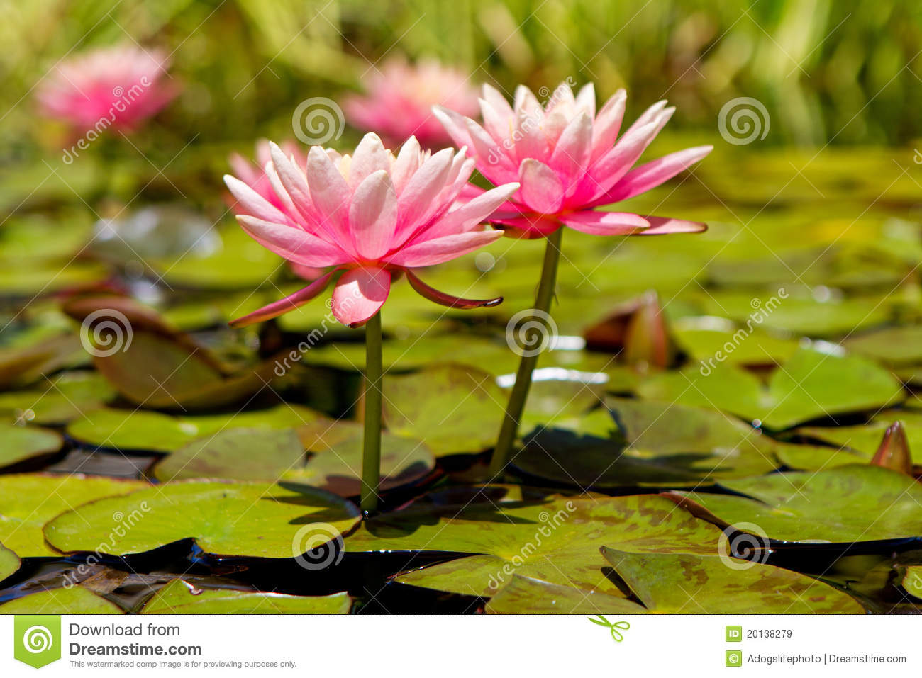 Two Pink Lotus Flowers In Lily Pond Stock Image Image Of Exotic