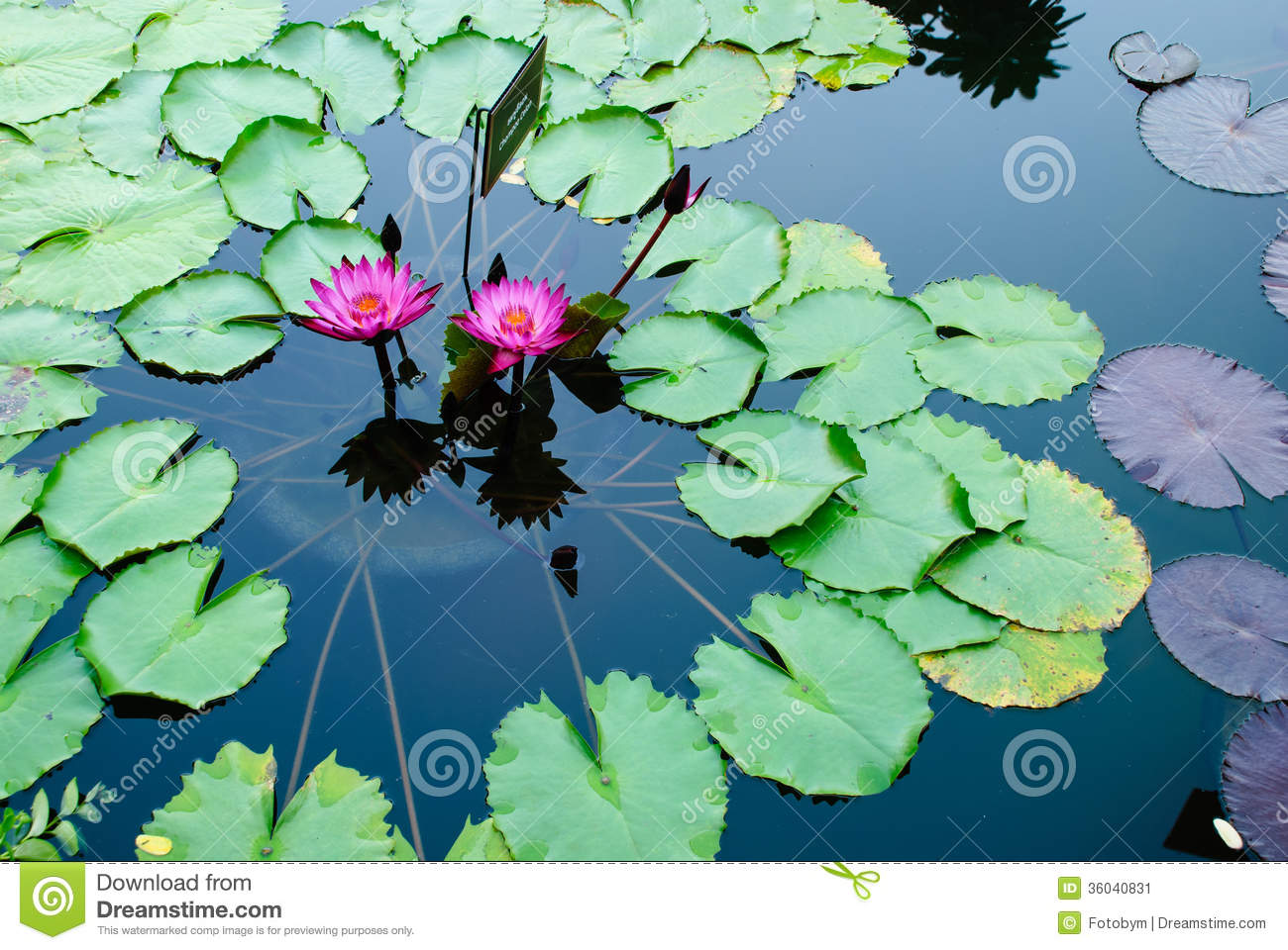 Two pink lotus flowers or water lily among green leaves stock image two pink lotus flowers or water lily among green leaves mightylinksfo