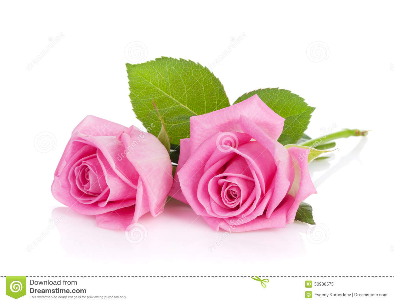 Two Pink Rose Flowers Stock Photo 50906575 Megapixl