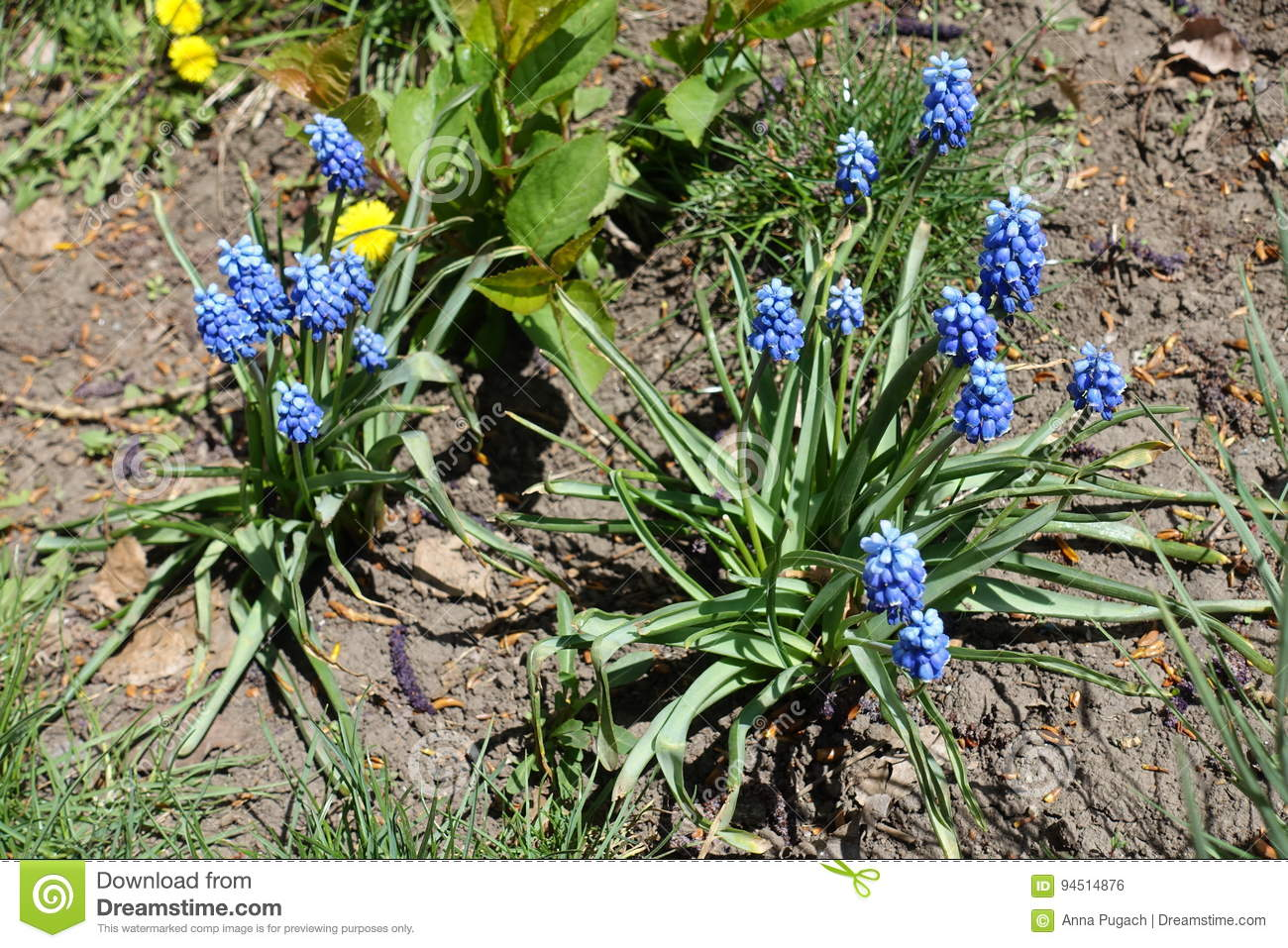 Two Plants Of Muscari Armeniacum With Blue Flowers Stock Photo