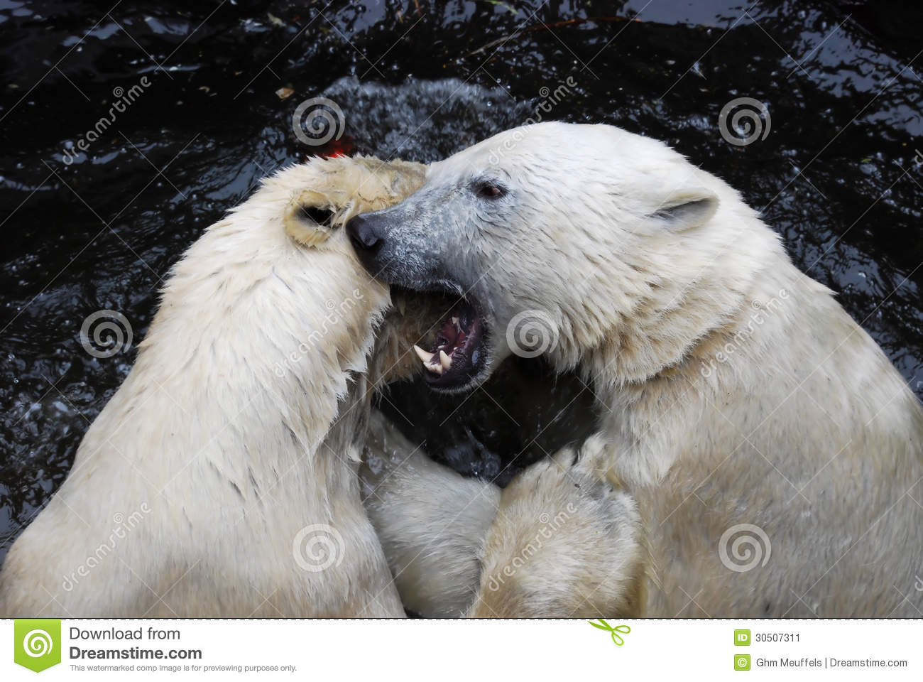 Two playful polar bears in a Zoo