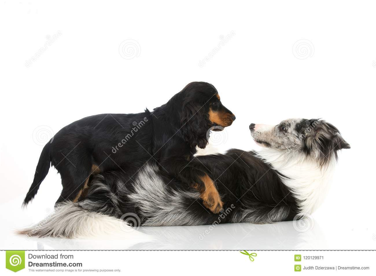 Two Playing Dogs On White Background Stock Image Image Of
