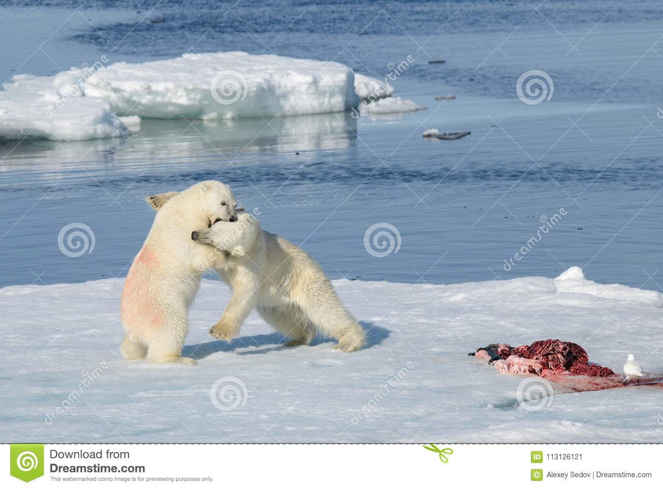 Two polar bear cubs playing together on the ice
