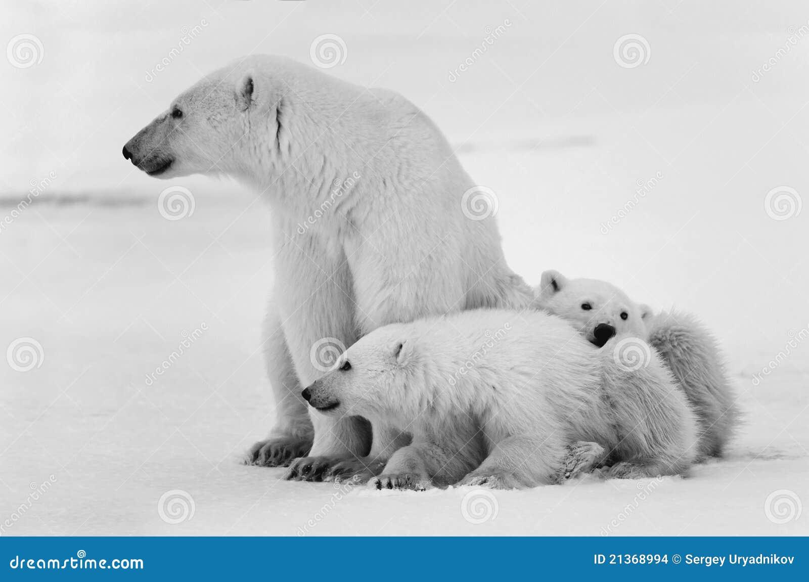 Two polar bears playfighting