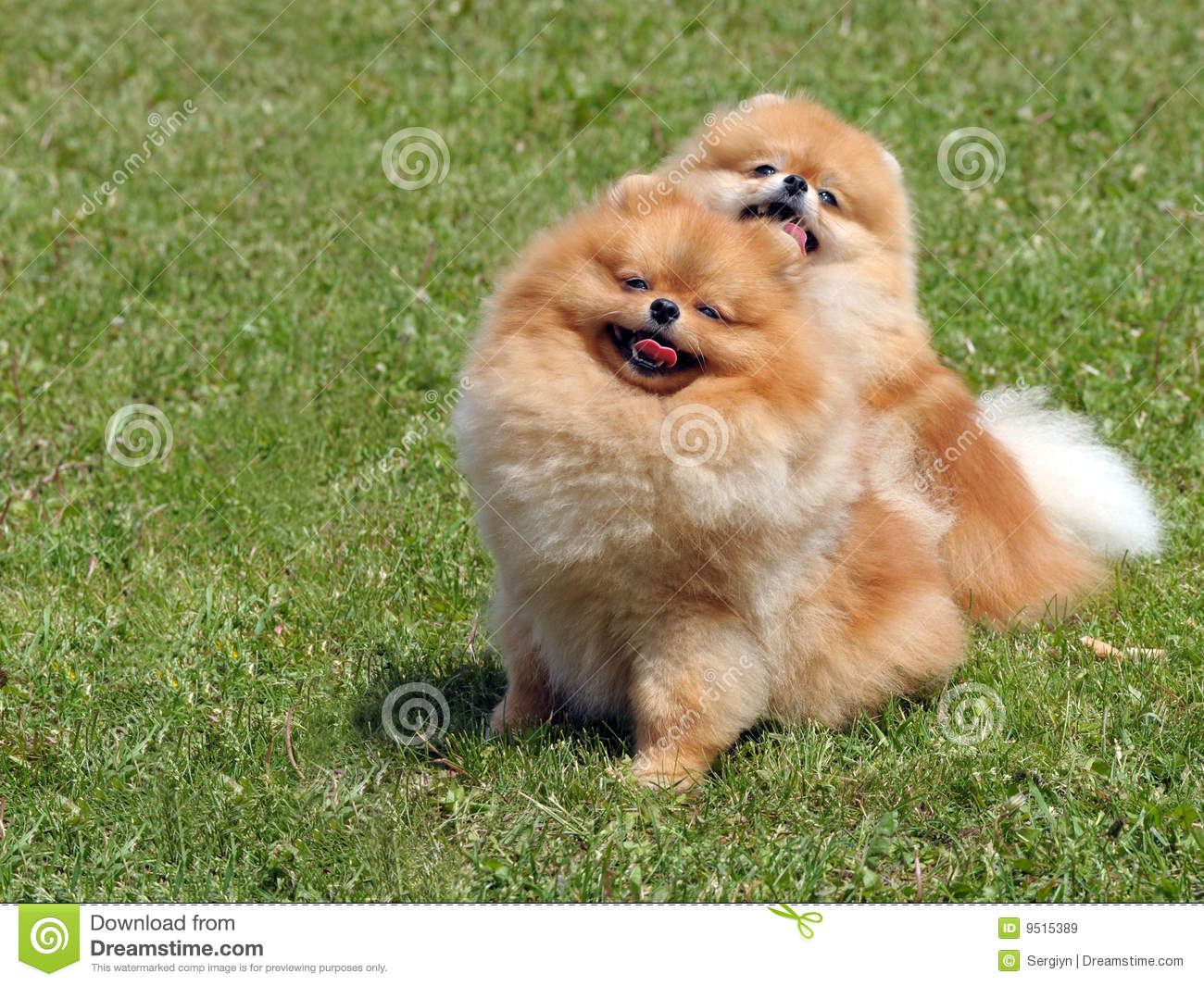 Two Pomeranian Dogs Royalty Free Stock Images - Image: 9515389