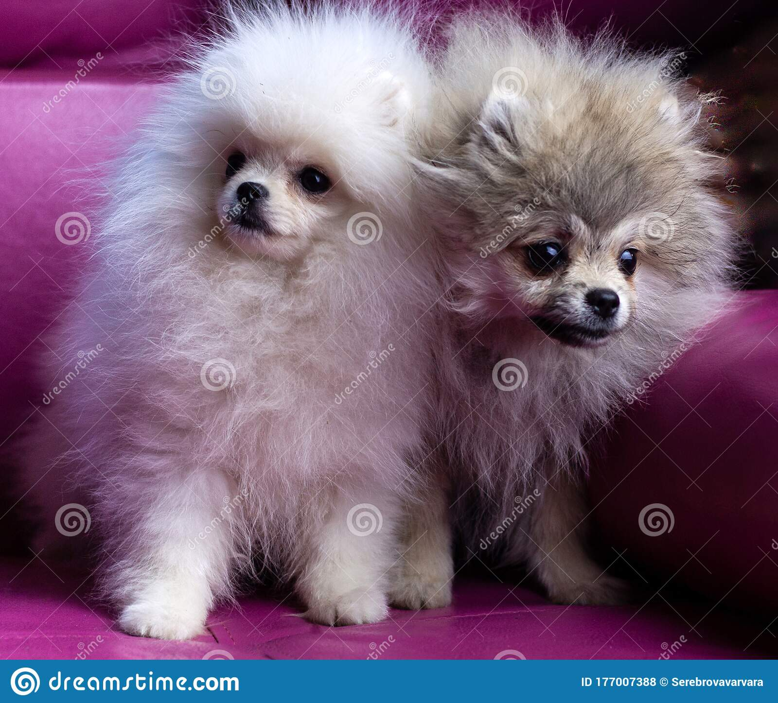 Two Pomeranian Puppies White And Grey Are Sitting On A Bright Pink Sofa Stock Photo Image Of Purebred Adorable 177007388