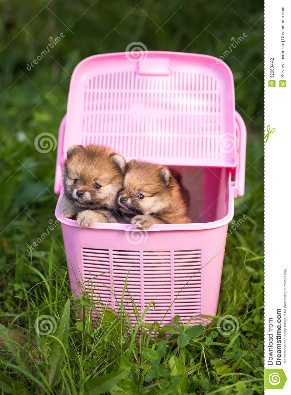 Two Pomeranian Puppy In A Pink Crate Stock Photo Image Of Open