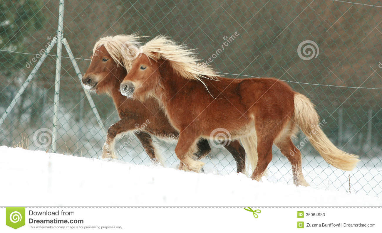 Two ponnies with long mane running in winter