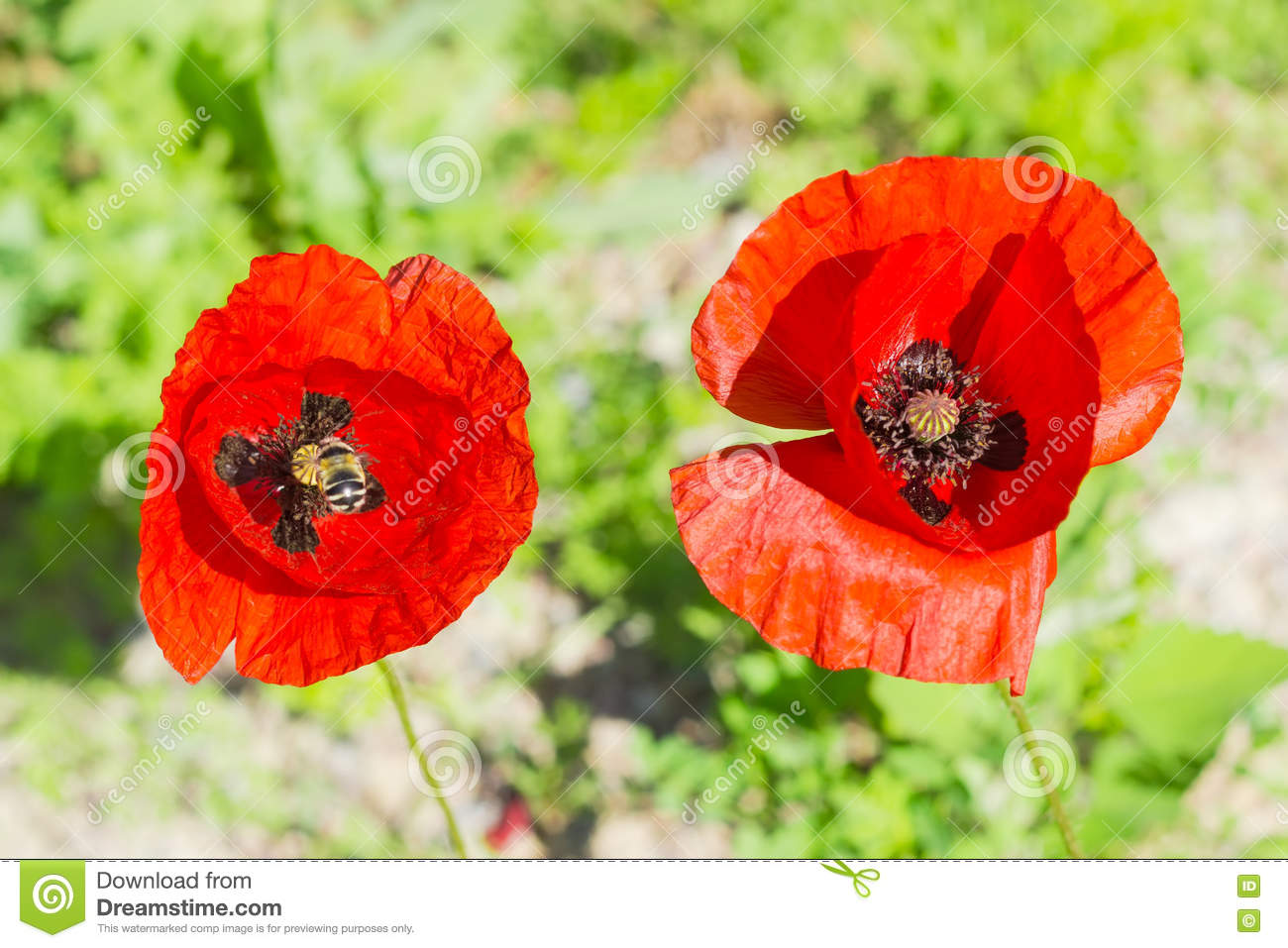 Two Poppy Flowers With Bee Closeup Stock Photo Image Of Flower