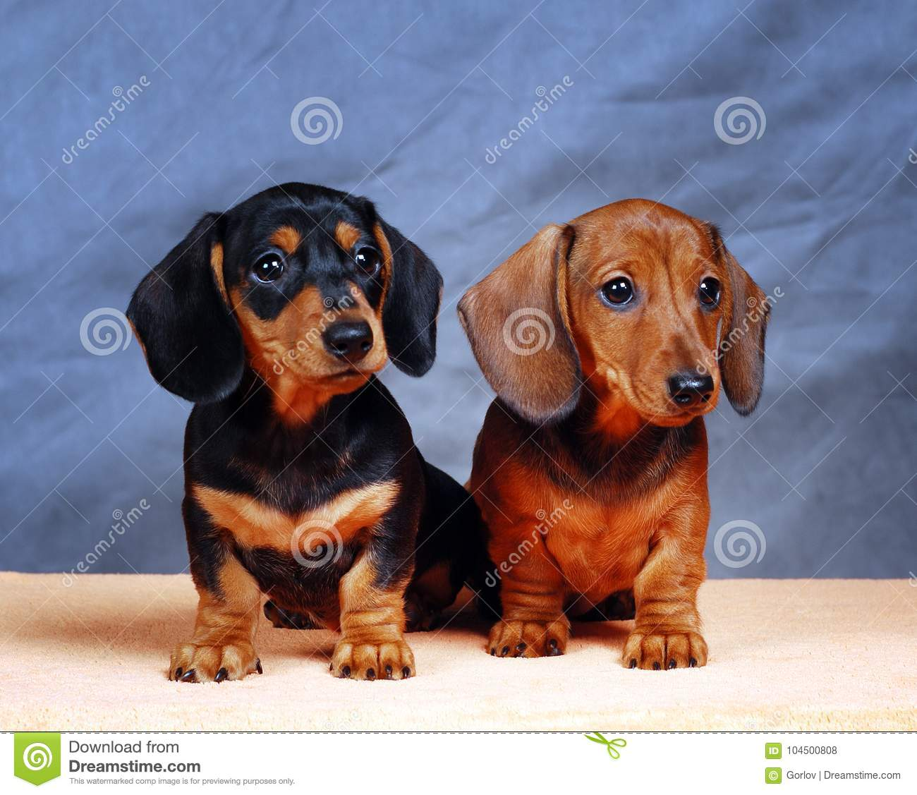 Two Pretty Dachshund Puppy On Blue Background Stock Photo Image Of Dachshund Racer 104500808