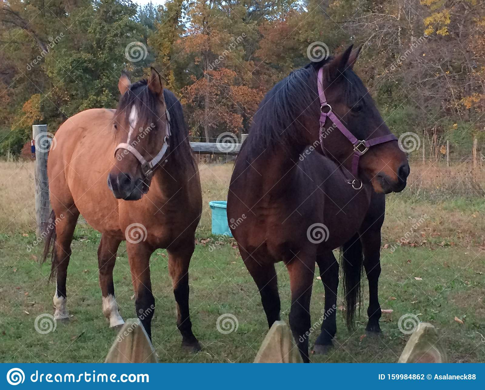 Two Pretty Horses In Autumn Stock Photo Image Of Arabian Horse 159984862