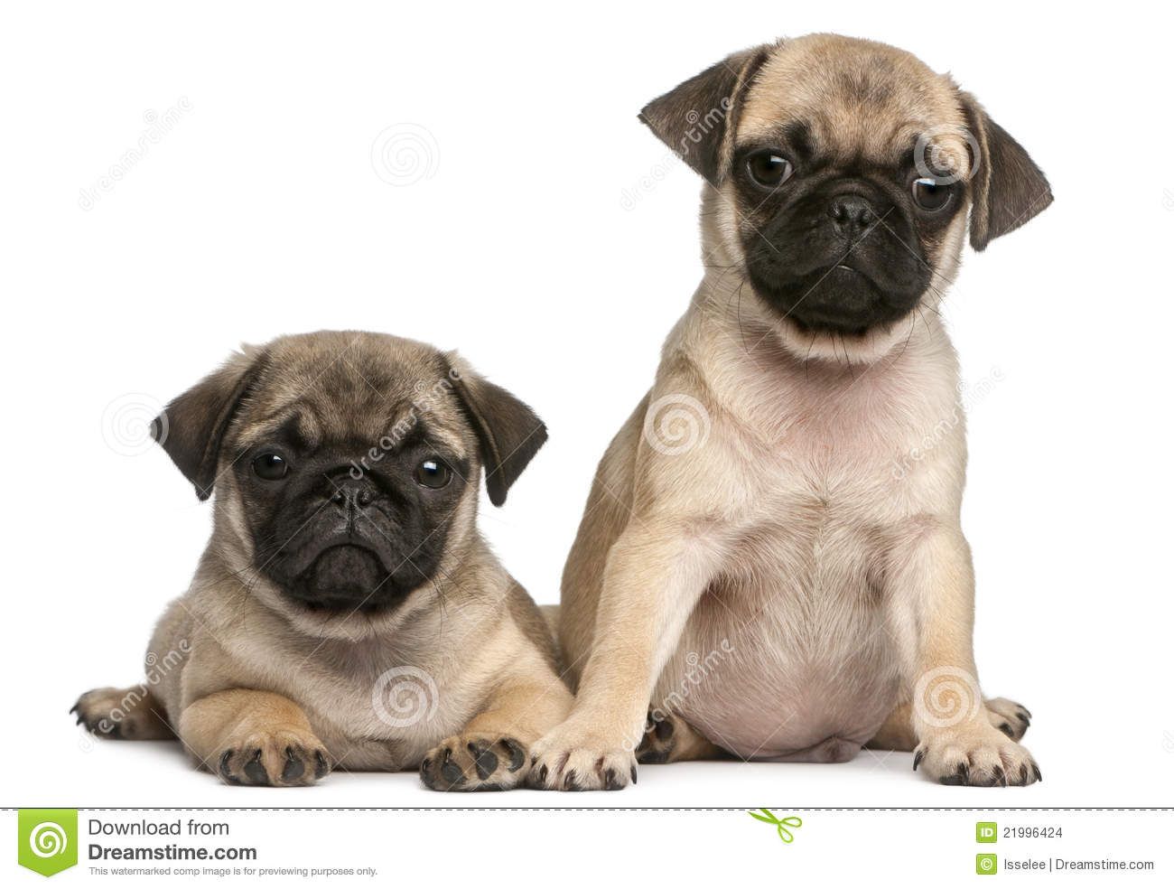 ... Puppies, 8 Weeks Old, In Front Of White Stock Images - Image: 21996424 White Baby French Bulldog
