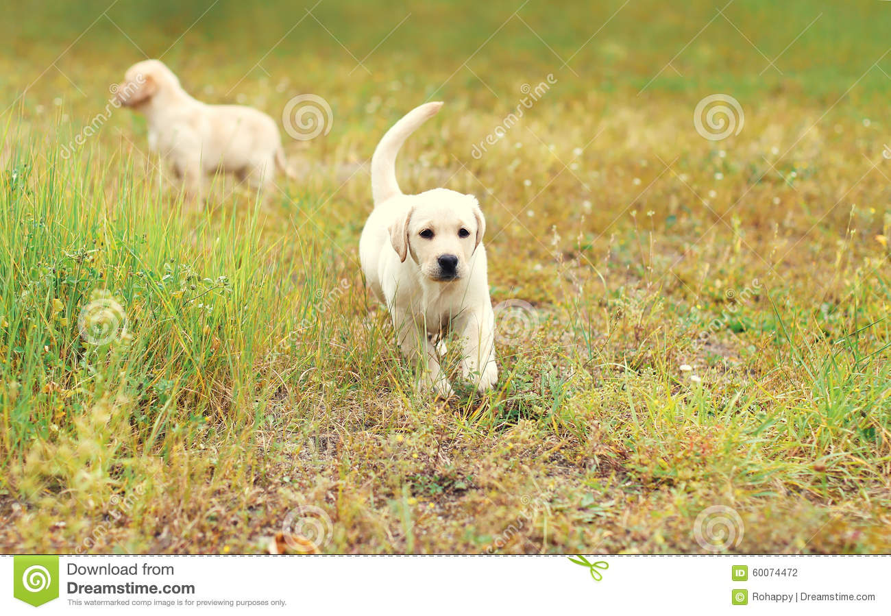 Two puppies dogs Labrador Retriever running together
