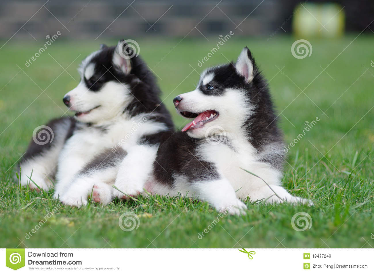 Two Puppies Looking Something Interesting Stock Photo