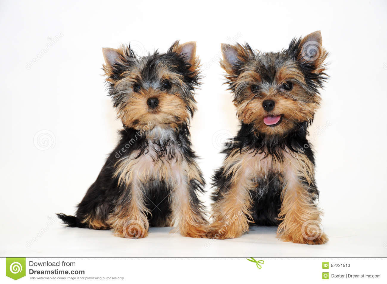 Two Puppies Yorkshire Terrier Stock Photo Image 52231510