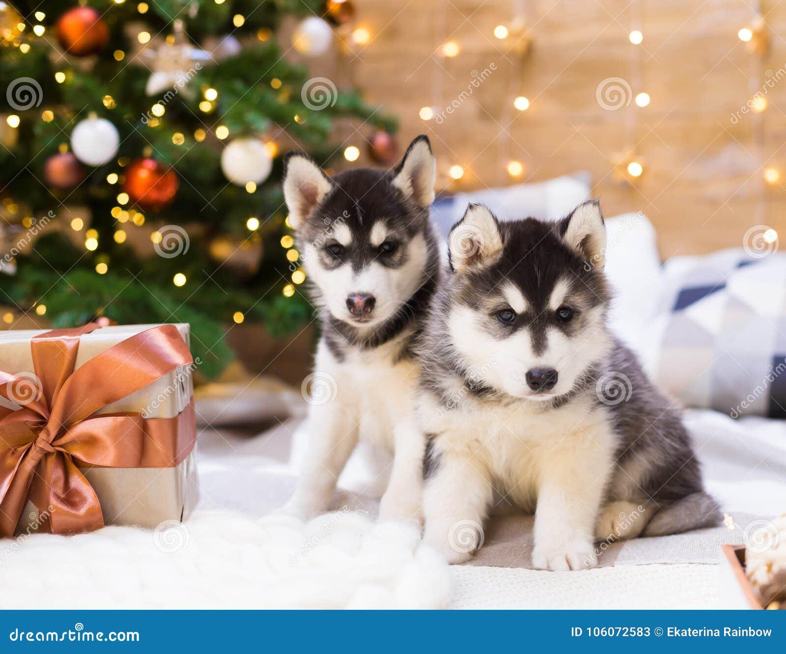 Husky Christmas Puppy.Animals Two Puppy Husky Gift Box Christmas Tree Close Up