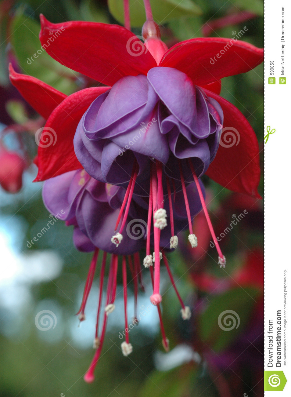 Two purple hanging fuchsia flowers stock photo 599853 megapixl mightylinksfo