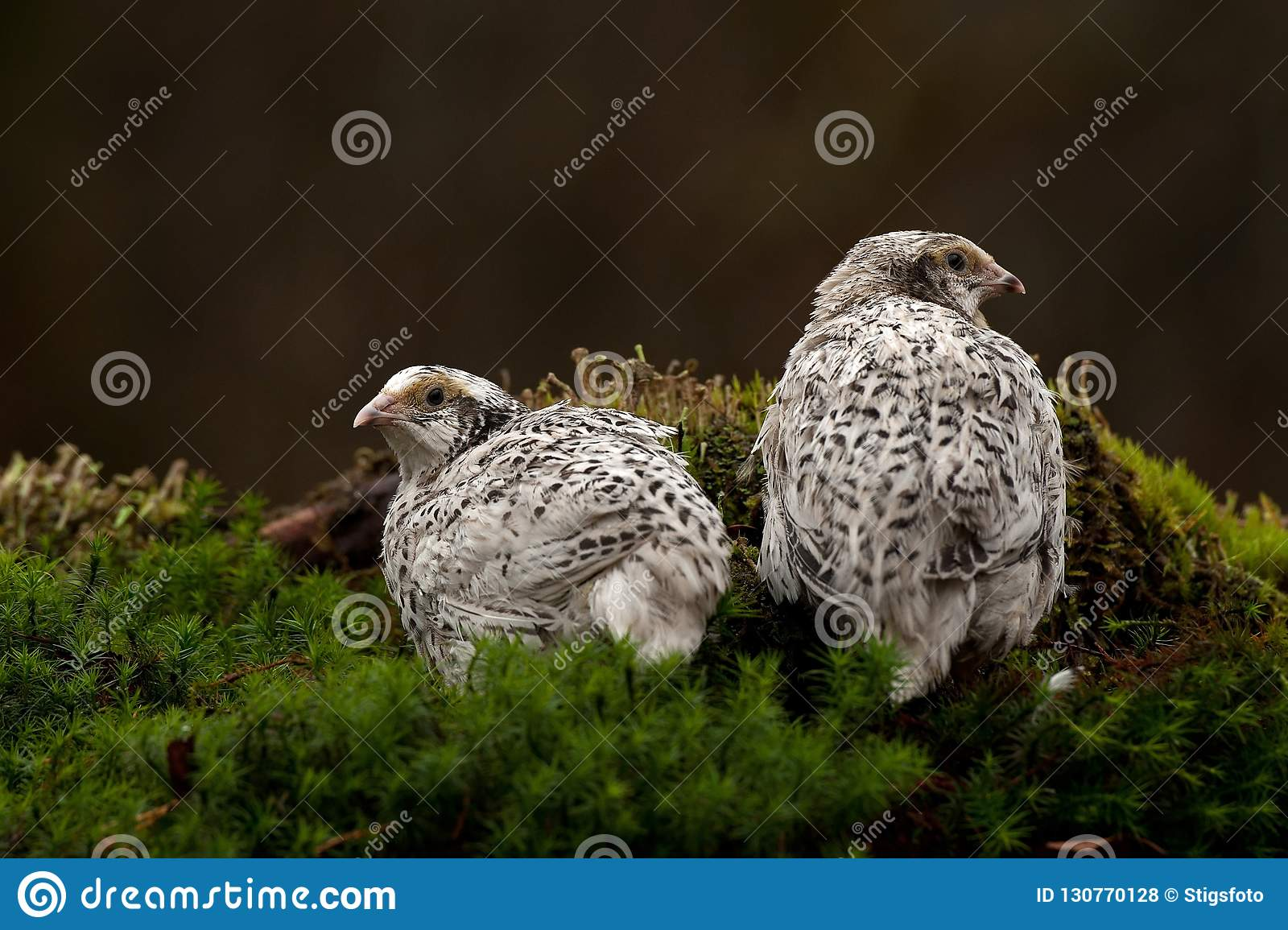 Two quail, Coturnix japonica.....photographed in nature.
