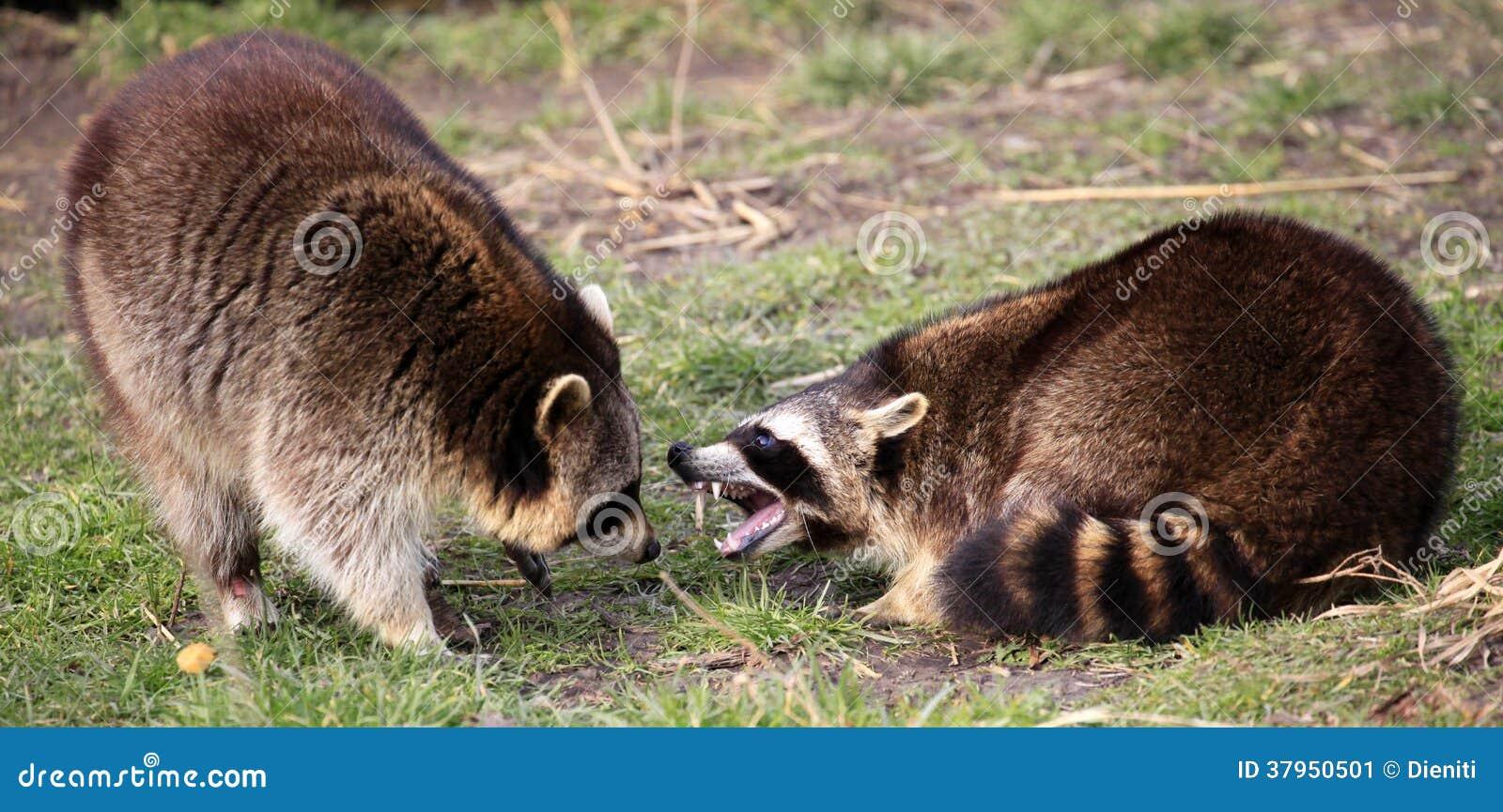 how to kill racoon ontario