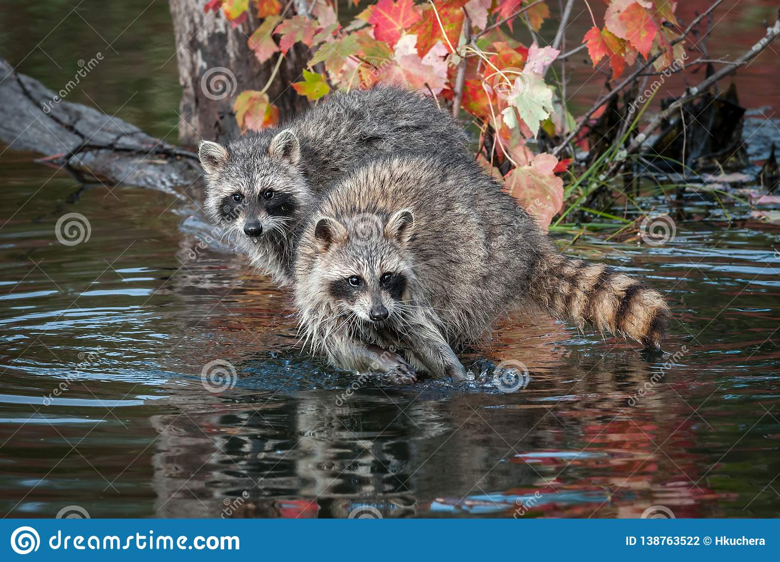 Two Raccoons Procyon lotor Look Straight Out Autumn