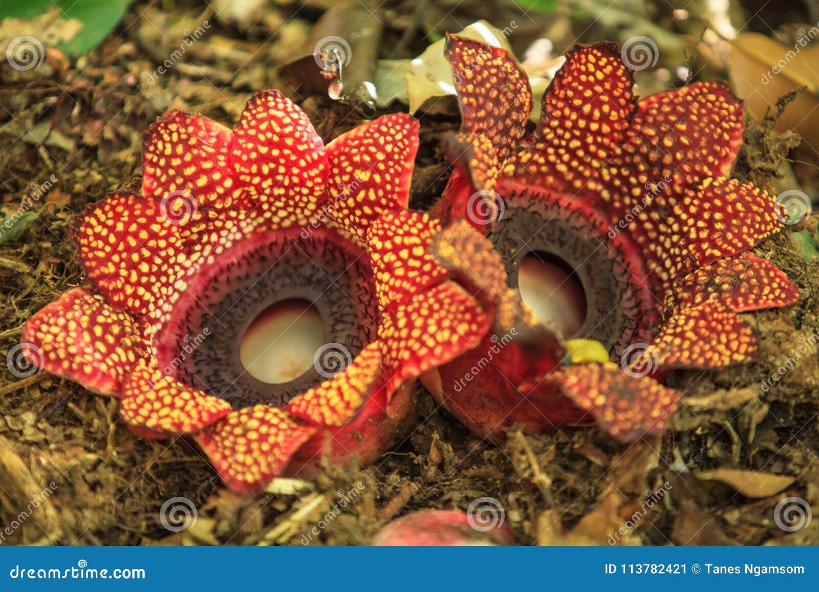 Two Rafflesia Sapria himalayana Griff flowers on Hill Evergree
