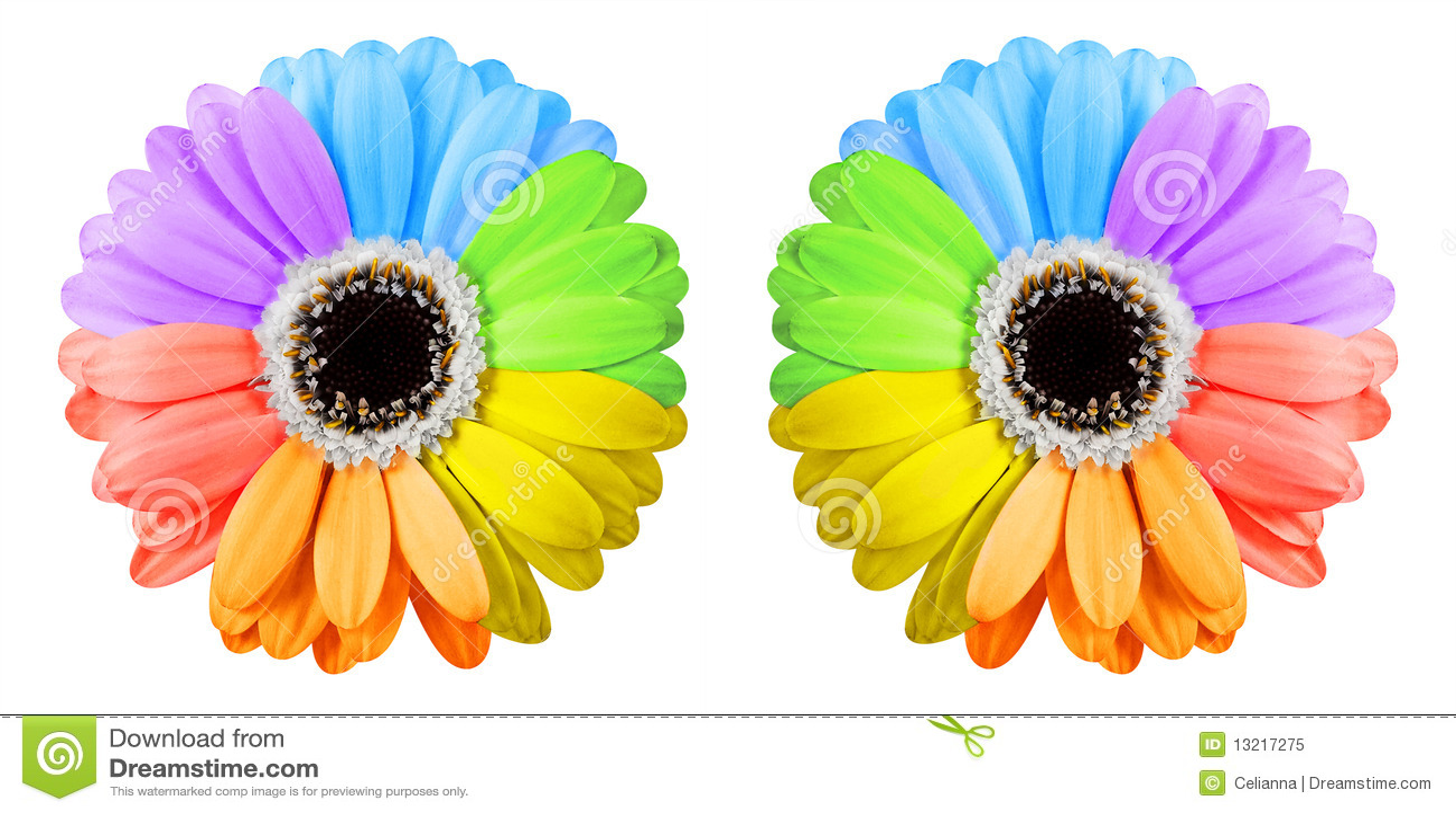 Two Rainbow Gerbera Flowers Royalty Free Stock Photo ...