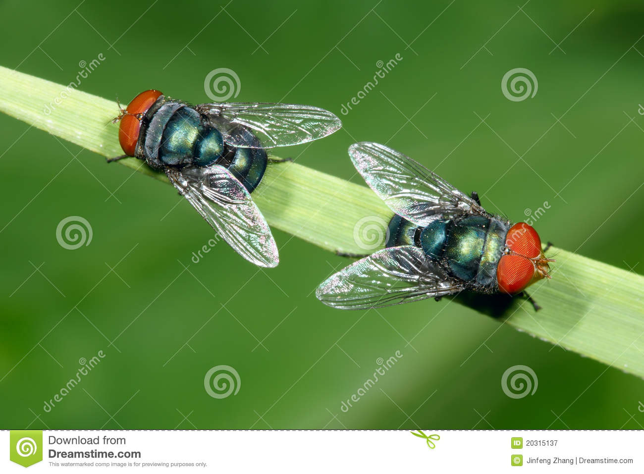 Two red-head flies