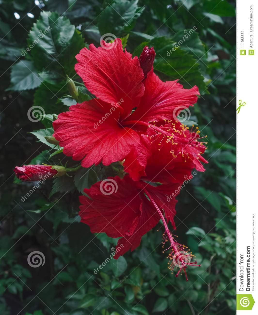 Two red hibiscus flower blossom in garden stock photo image of royalty free stock photo izmirmasajfo