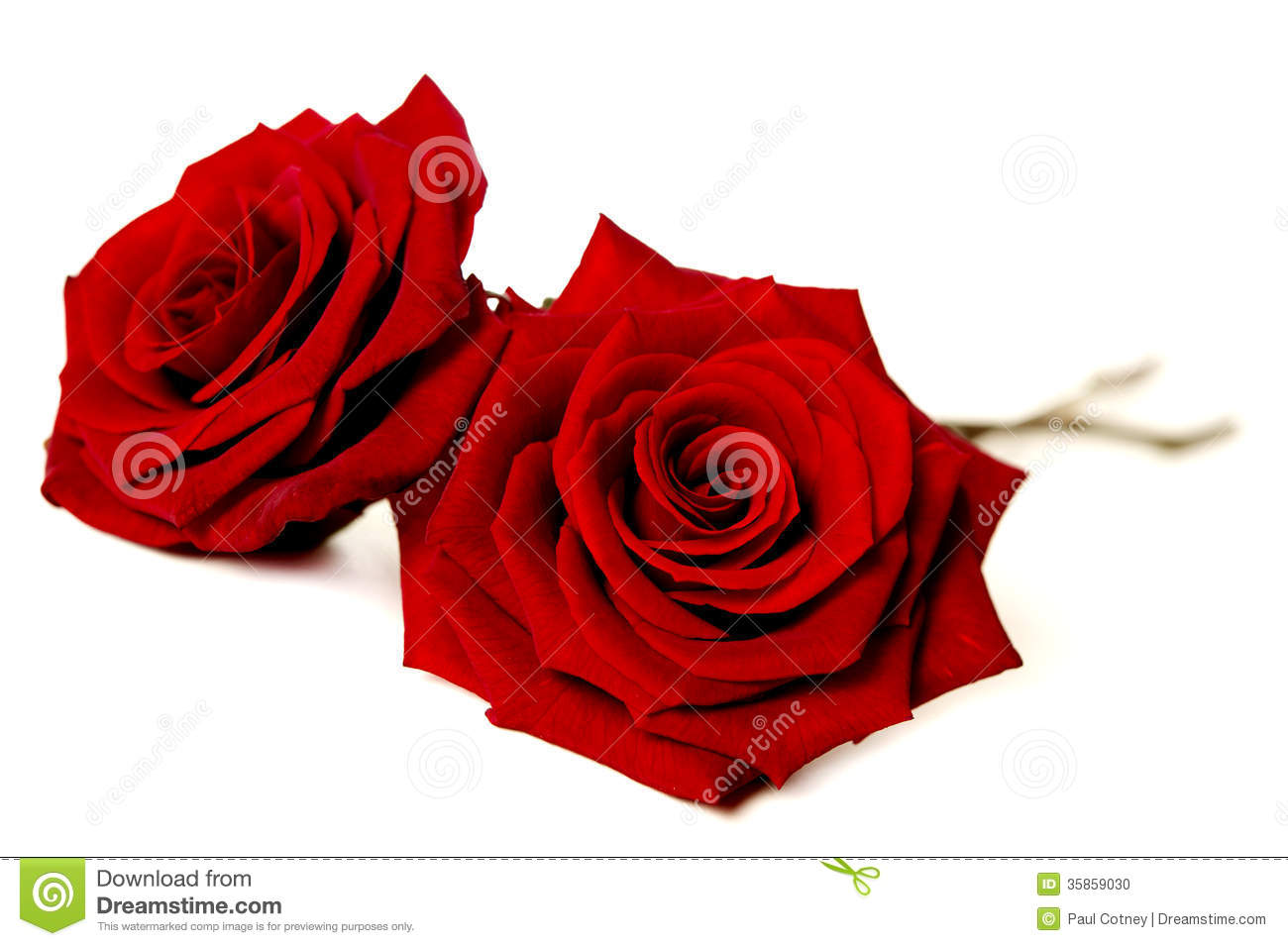 Two Red Roses Isolated On White Stock Photo