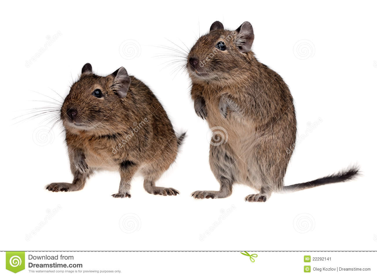 two rodent degu stock image  image of together  pair