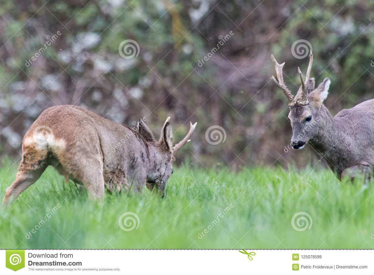 Two roe deers confront each other during a fight, heads down