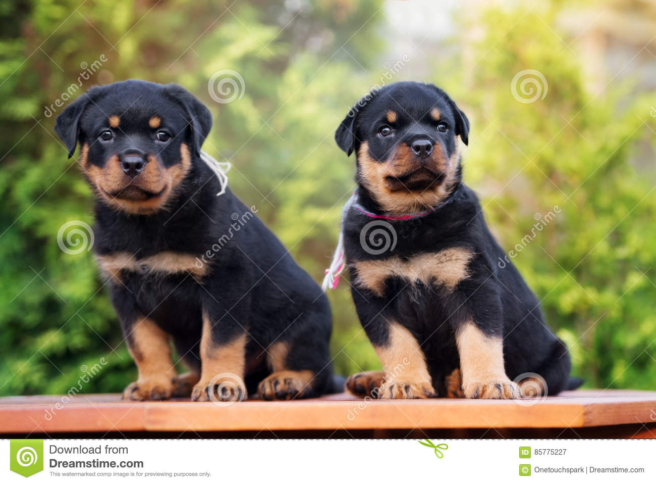 Two Rottweiler Puppies Outdoors Stock Image - Image of