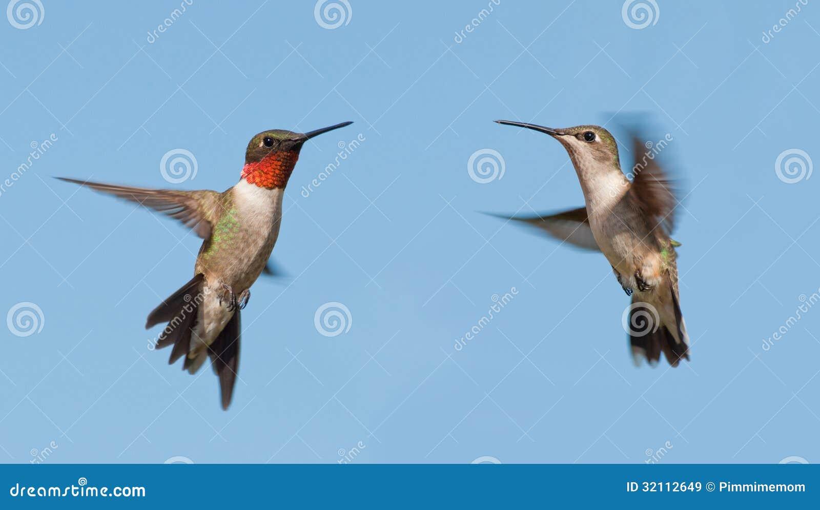 Dve koli Ruby-Throated kolibri, Moški in Ženska, Letenje-3103