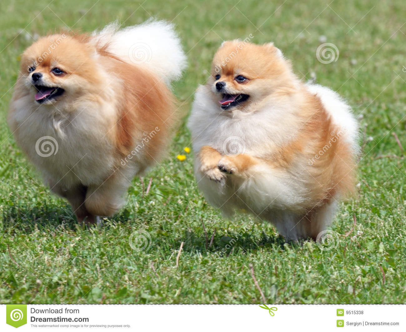 two running pomeranian dogs royalty free stock photos   image 9515338