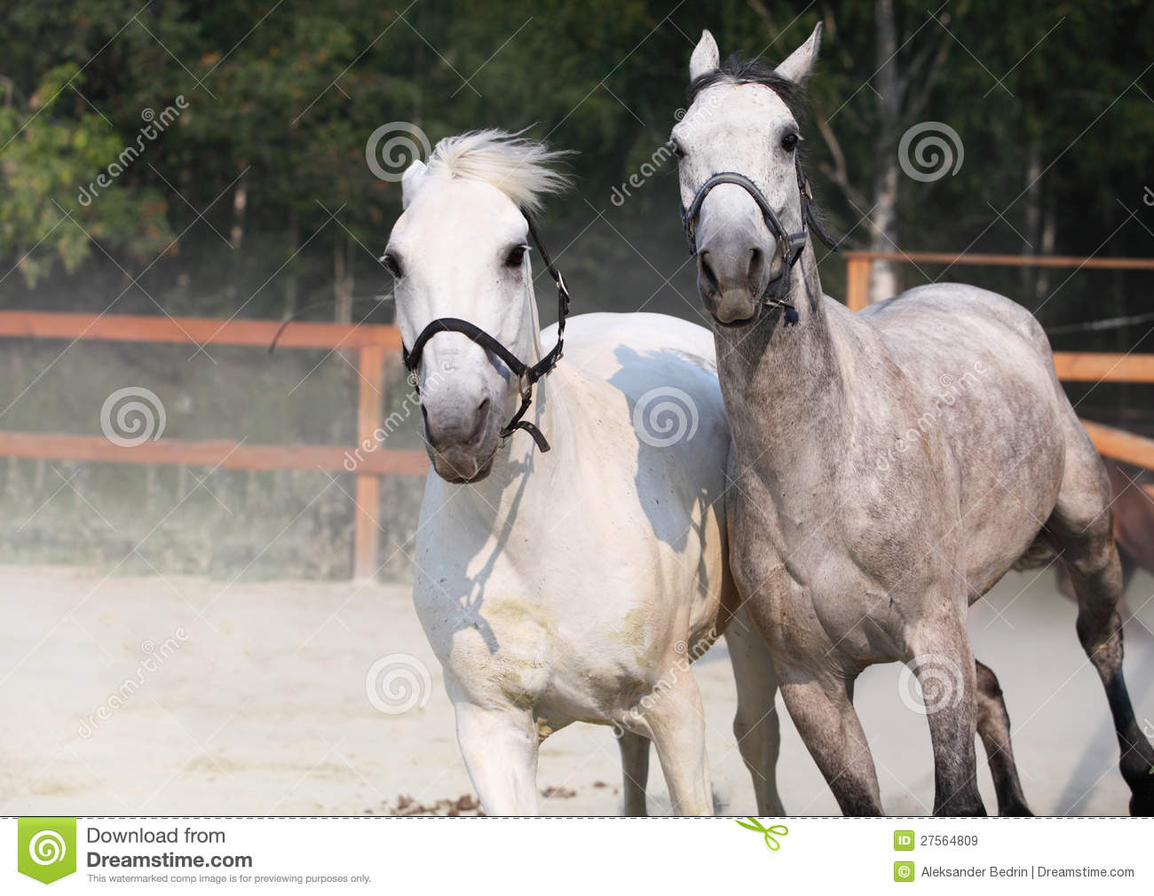 Two Running White Horse Farm Stock Images 523 Photos