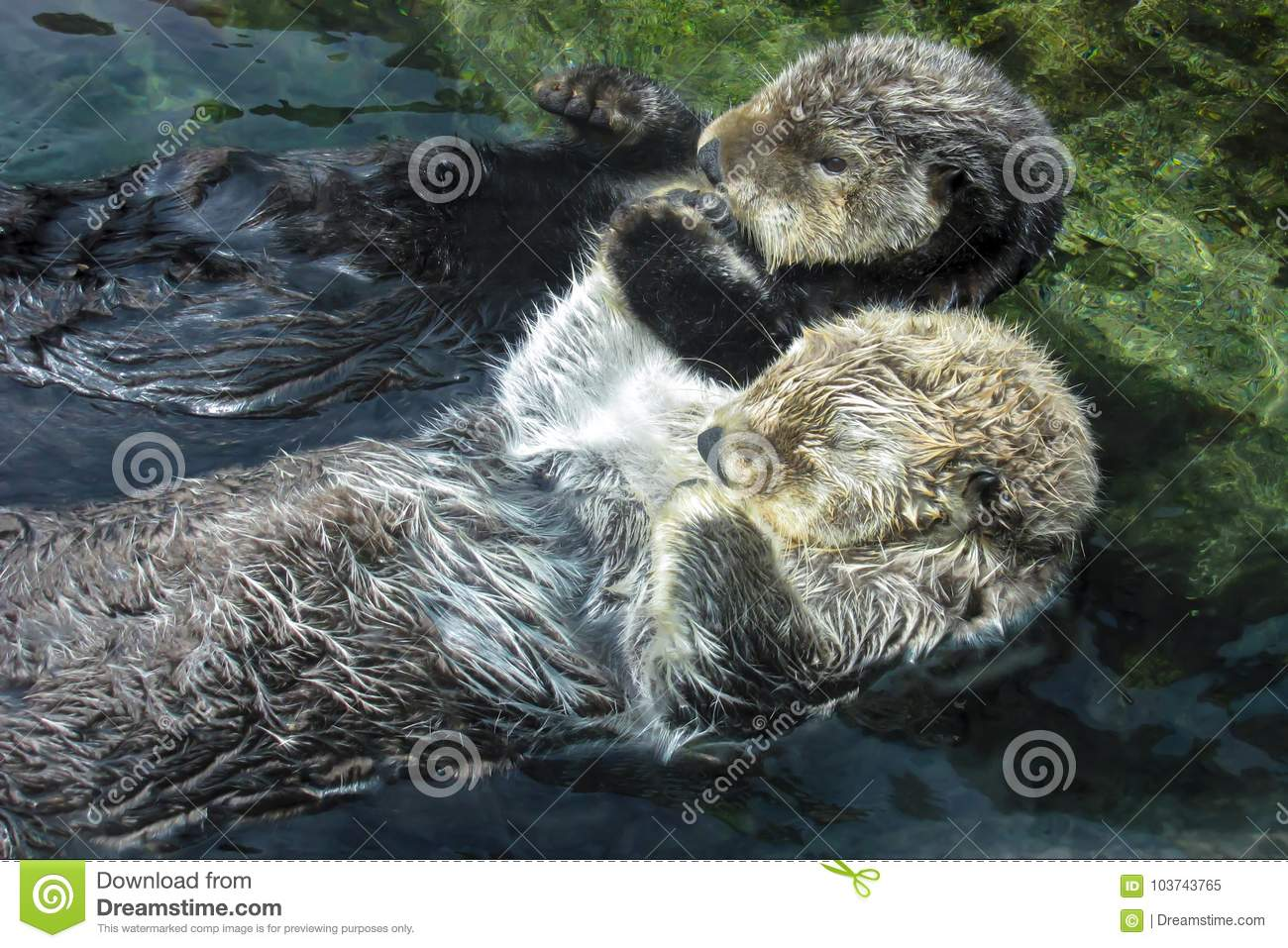 Two Sea Otters Holding Paws and Floating on Backs