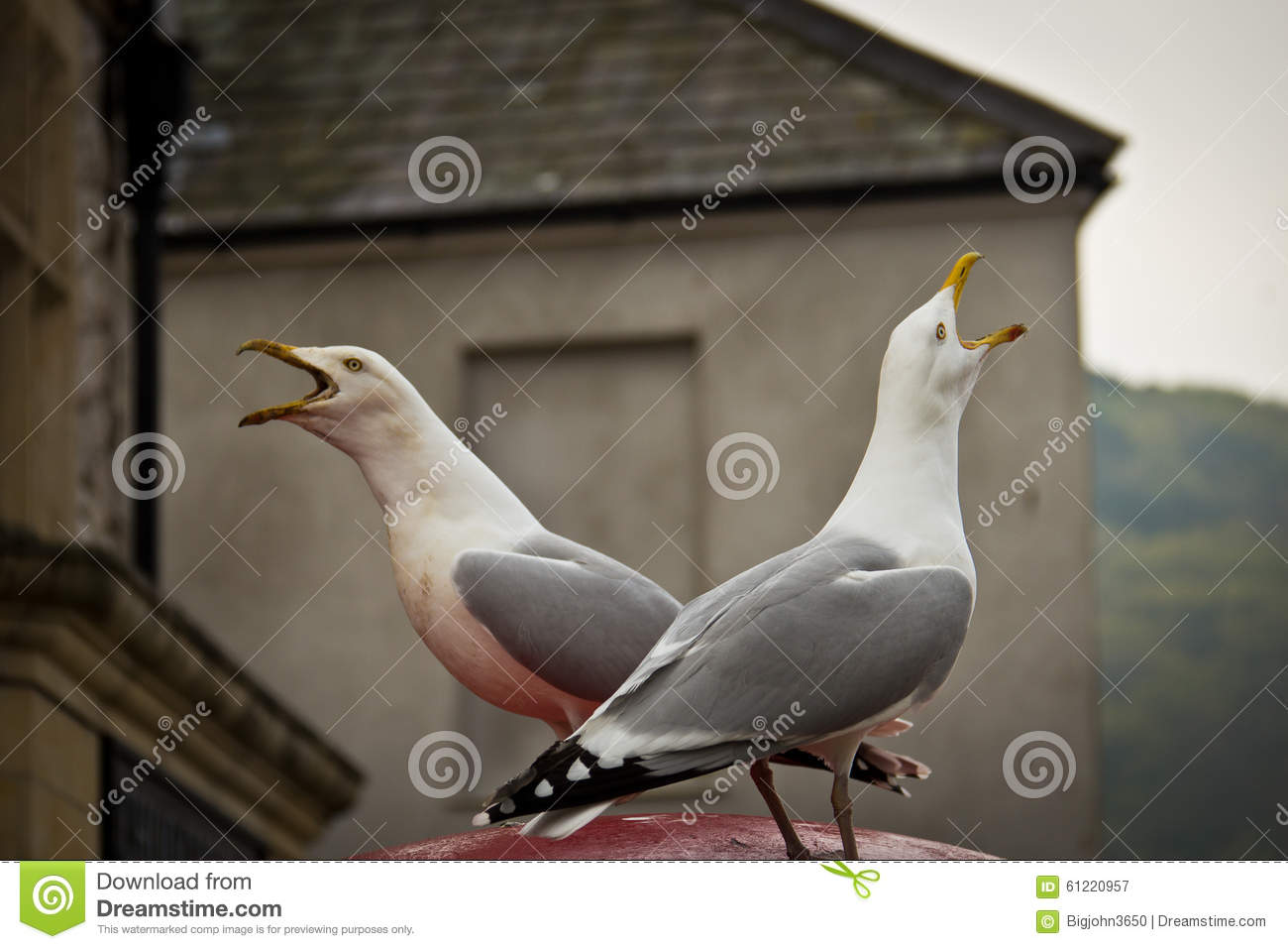 two seagull birds chirping opposite to each other stock image