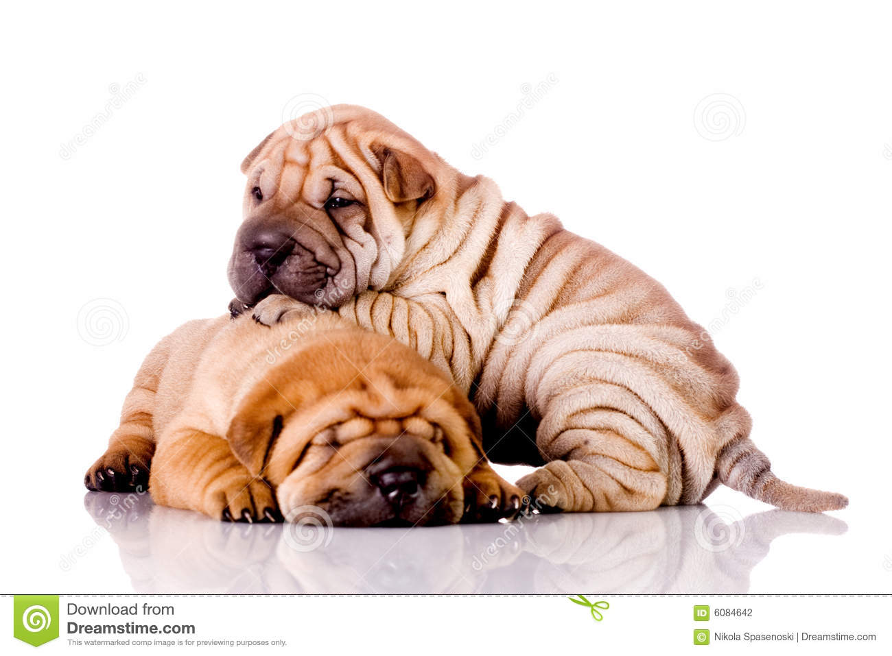 Two Shar Pei Baby Dogs Stock Photo Image Of Group Canine