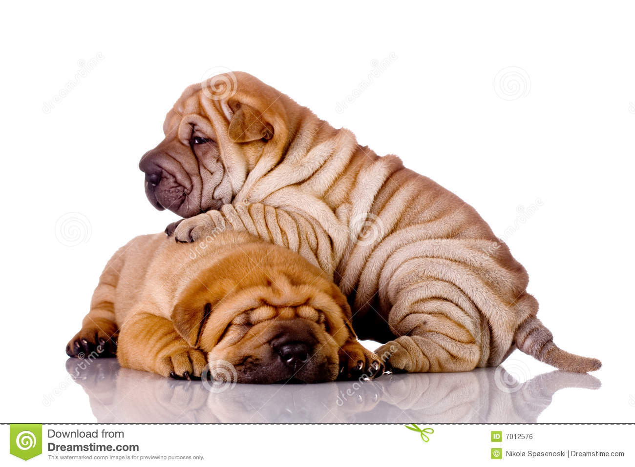 How Big Are Shar Pei Dogs