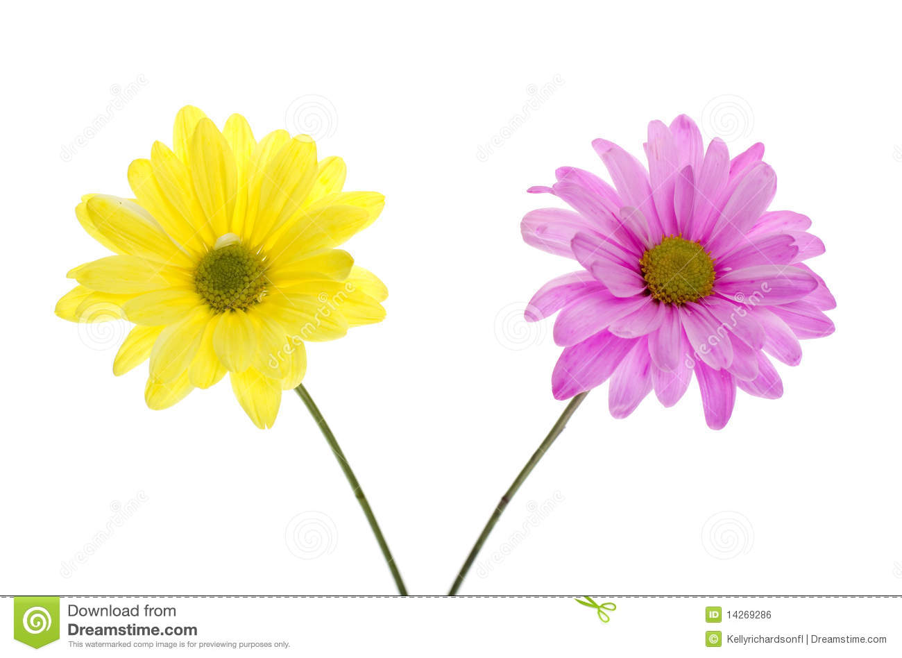 Two Shasta Daisy Flowers Pink And Yellow Stock Photo Image Of