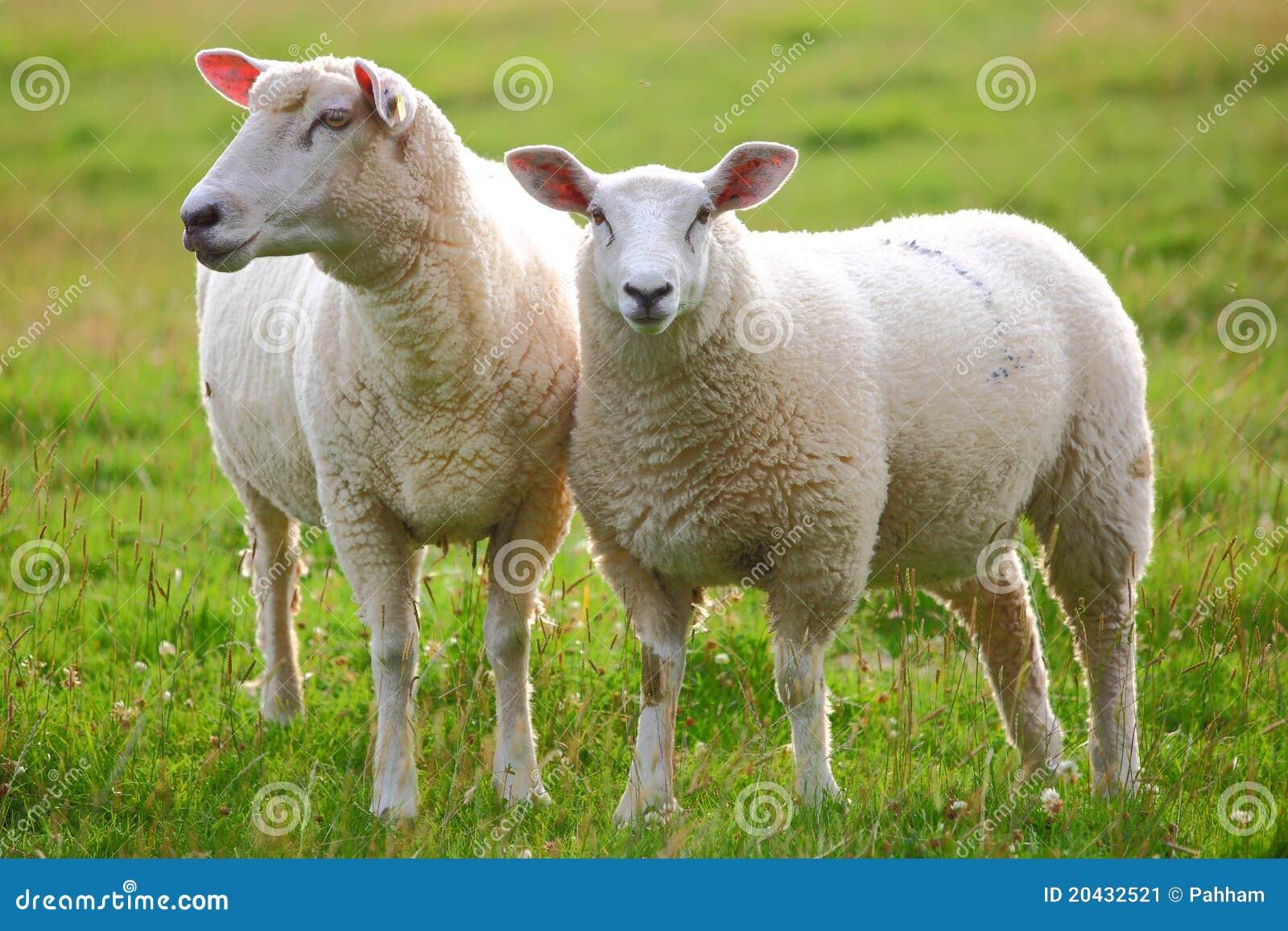 Секс с авцой 12 фотография