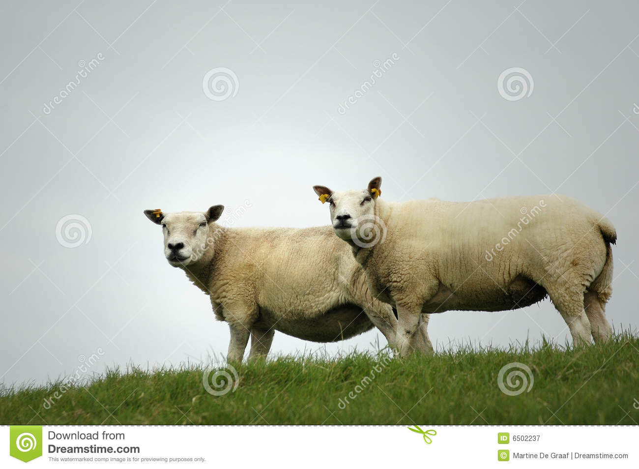 Two Sheep on a
