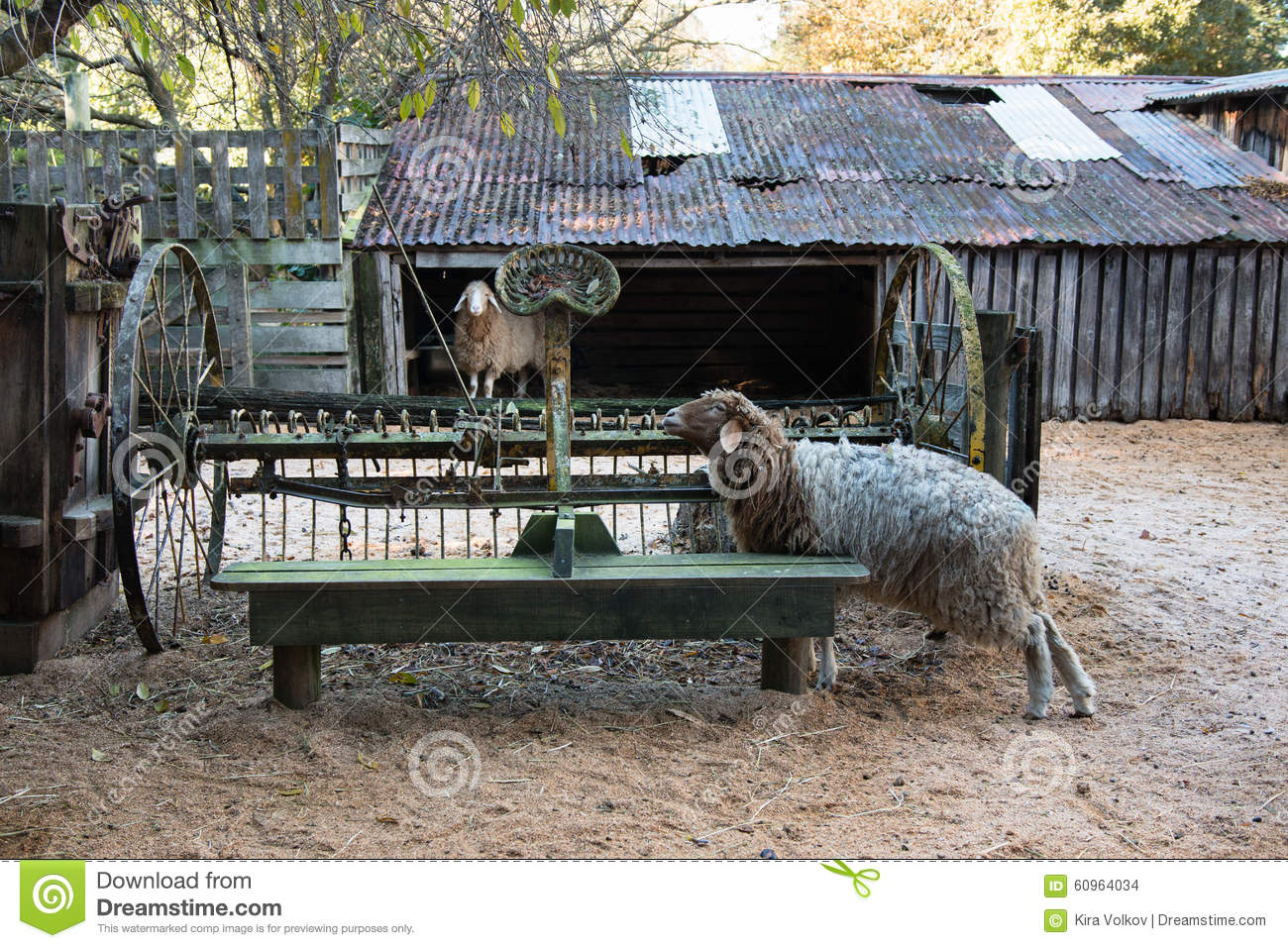 Two Sheep And Old Harrow On Country Yard Stock Photo