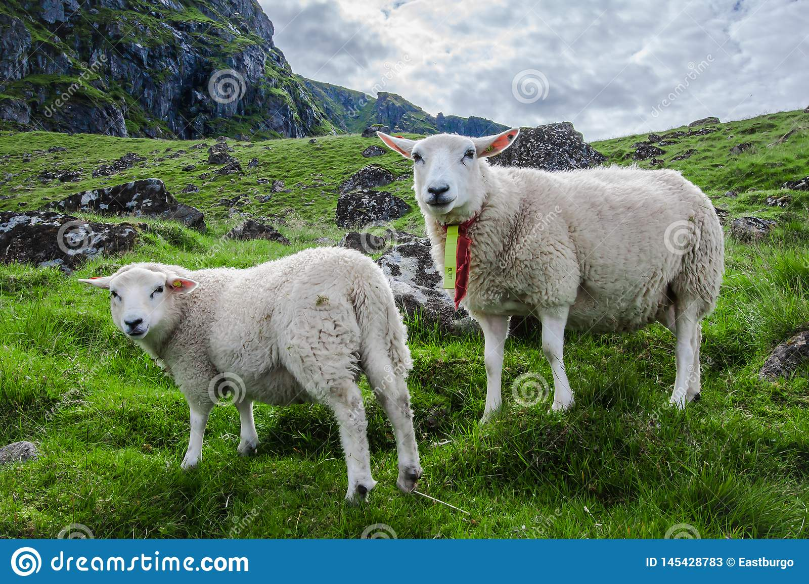 Two sheep stare at camera on the Island of Lofoton in Norway