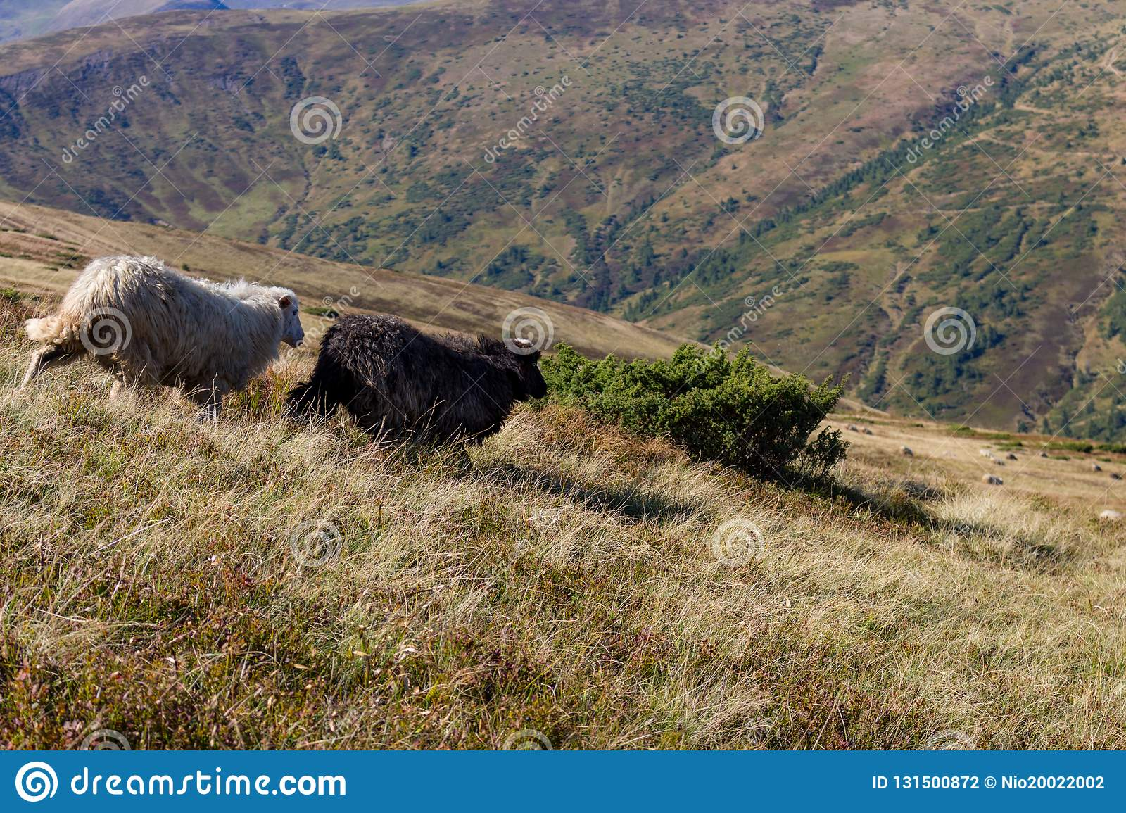 Two sheeps grazing on summer hills. Black and whire sheeps running down the hill. Pasture background.